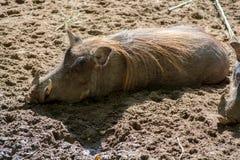 Свинья Warthog одичалая, жизни в Африке, поднимающем вверх дикого животного близкое Стоковая Фотография RF