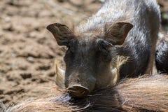 Свинья Warthog одичалая, жизни в Африке, поднимающем вверх дикого животного близкое Стоковые Изображения