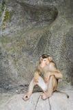Свинь-замкнутая макака (nemestrina Macaca) Стоковая Фотография RF