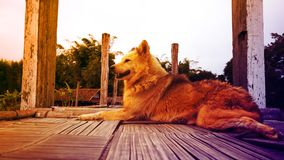 Свирепое сидение на корточках собаки на деревянном поле Стоковое Фото