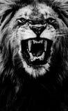 Свирепый король стоковая фотография rf