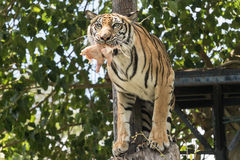 Свирепый тигр пугливый и есть жертву Стоковое Фото