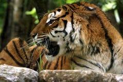 свирепый тигр Стоковые Фото