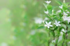 Свирль коралла или цветок Inda Стоковое фото RF