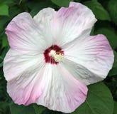 свирль пинка hibiscus Стоковое Изображение RF
