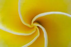 Свирль Plumeria Стоковое Изображение