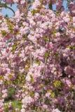 Свисая ветви дерева Сакуры Стоковые Изображения