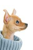 свитер собаки чихуахуа близкий вверх стоковое изображение rf