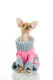 свитер собаки чихуахуа Стоковые Изображения RF