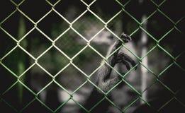 Свобода потери гиббоновых стоковая фотография rf