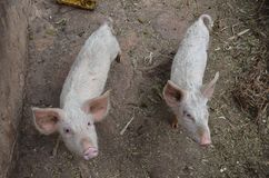Свободная свинья живя в ферме стоковые изображения