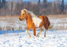 свободное shetlend бега пониа Стоковые Изображения RF