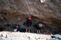Свободно-кочуя цыплята на Ла Palma стоковое фото rf