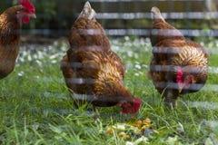 Свободные внешние цыплята есть остатки стоковая фотография