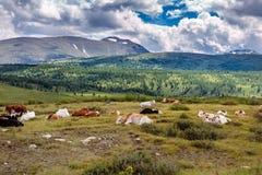 Свободные коровы отдыхают на выгоне горы в летнем дне Коровы пасут свободно в горах, лежат на том основании против стоковое изображение rf