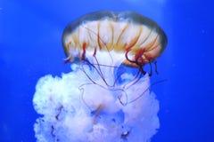Свободные медузы в уединении стоковые изображения rf