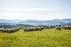 Свободные пася овцы в горах Стоковые Изображения RF