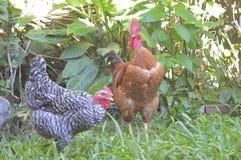 Свободные цыплята в саде стоковые фотографии rf