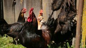 Свободные цыплята ряда кочуют двор на ферме сток-видео