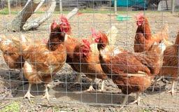 Свободные цыплята ряда стоковая фотография