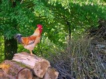 Свободный петух ряда, петушок на woodpile стоковые фотографии rf