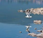 свободный полет около чайки Стоковая Фотография