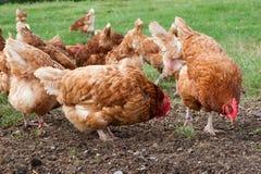 свободный ряд куриц Стоковая Фотография RF