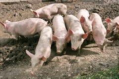 свободный ряд свиней Стоковое фото RF