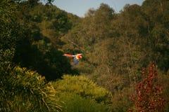 свободный шарлах летая macaw стоковое изображение rf