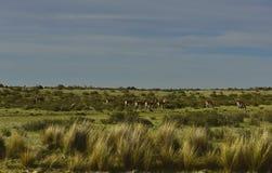 Свободный юг - американская альпака Стоковая Фотография