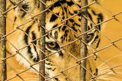Свобода маленького тигра Стоковое Фото
