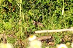 Свободная куропатка Стоковая Фотография