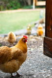 Свободные выстраивая в ряд счастливые курицы Стоковая Фотография RF