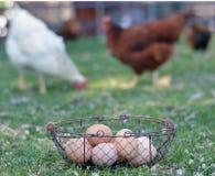 Свободные курицы и яичка ряда Стоковое Изображение