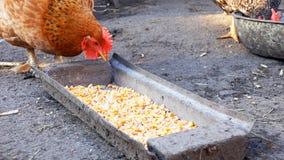 Свободные курицы цыплят ряда клюя мозоль и еду Стоковые Изображения RF