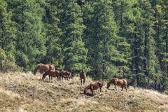 Свободные пася лошади в горе Стоковая Фотография