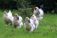 Свободные цыплята и петух стоковые изображения rf