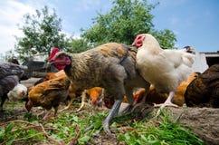 Свободные цыплята ряда стоковое изображение rf