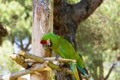 Свободный попугай ары сидя на дереве в парке Стоковые Фотографии RF