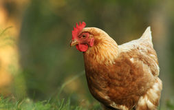 свободный ряд курицы Стоковая Фотография