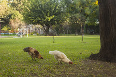 Свободный цыпленок в саде Стоковые Изображения RF