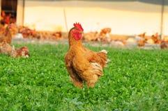 Свободный цыпленок ряда Стоковое фото RF