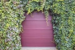 Свод зеленых и фиолетовых листьев девичьих виноградин Стоковые Фотографии RF