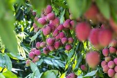Свое время рудоразборки lychee на ranisonkoil, thakurgoan, Бангладеше стоковая фотография