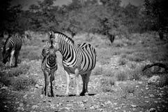 Свой младенец Burchell зебра и в Намибии Африке Стоковая Фотография