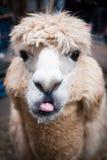 свой llama вне вставляя язык Стоковая Фотография