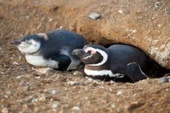свой magellanic устраиваясь удобно пингвин Стоковые Изображения