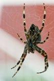 своя сеть паука Стоковые Фото