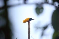 12-связанная проволокой райская птица Стоковые Фотографии RF