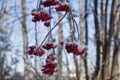 связанная с Снег рябина разветвляет с пуками красной ягоды стоковое фото